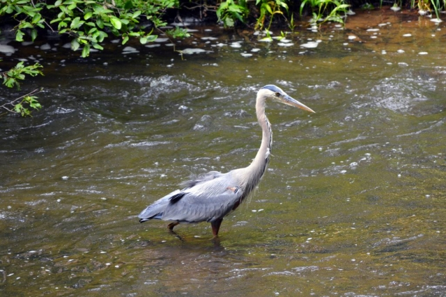 Great Blue Heron fishing in a stream