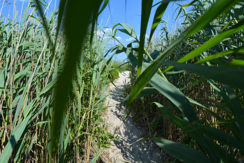 A path to the beach through tall grass