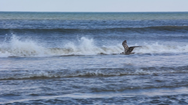 A seagull in flight with waves in the background