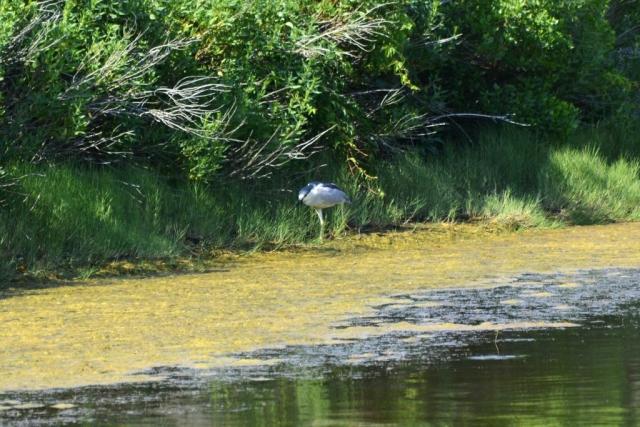 A large bird walks through a pond