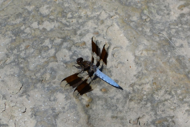 A dragonfly spotted on the shores of the Milwaukee River in Estabrook Park