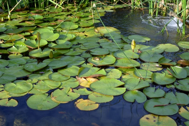 Lily Pads with Frogs