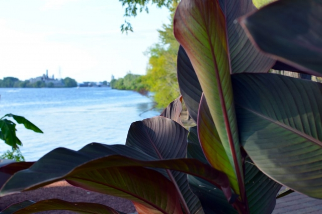 The view of the Mississippi river through leaves at the International Friendship Gardens