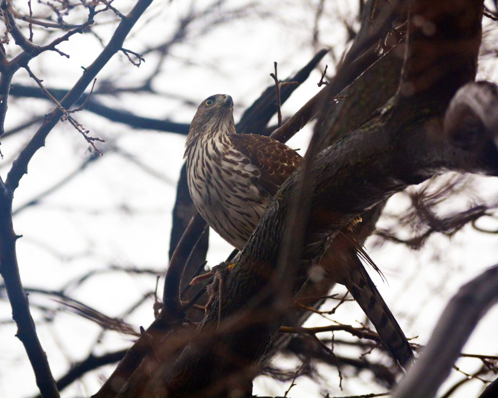 Hawk Photographed in North Philadelphia near Temple University